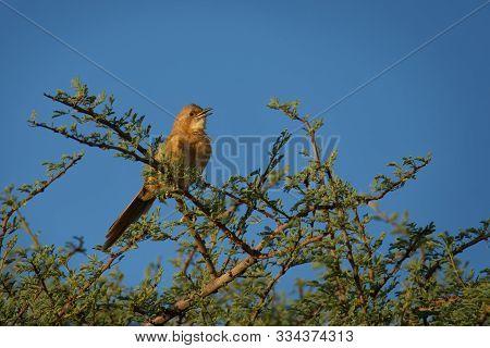 Fulvous Babbler - Argya Fulva Fulvus  Or Fulvous Chatterer Is Bird In Leiothrichidae, Warm Brown Abo
