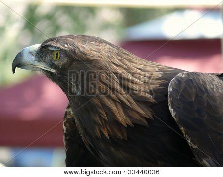 Red tail hawk in profile seeking