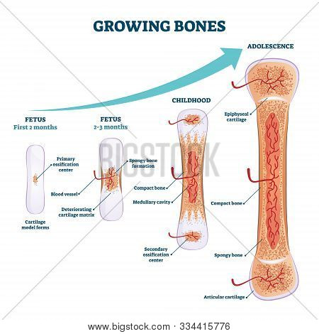 Growing Bones Vector Illustration. Educational Fetus, Childhood And Adolescence Organ Development St