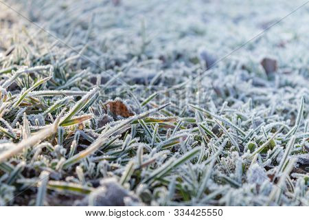 Leaves Covered With Frost In The First Autumn Frosts, Abstract Natural Background. Green Leaves Of P