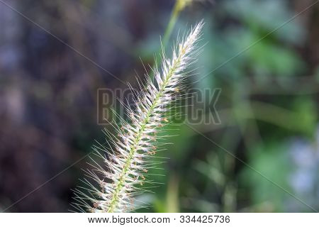 Highlighting The Grass Flowers, Blurred Background Image
