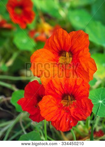 Red Nasturtium Blooms Profusely In The Flower Bed Of The Botanical Garden,