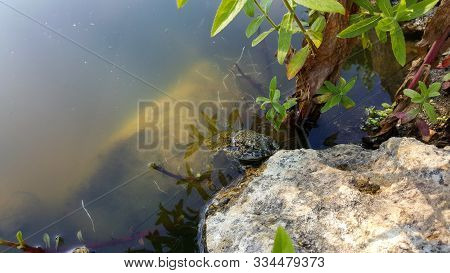 Frog Resting On A Rock Near The Water. A Marsh Frog Sits Near A Pond. Sitting Frog In The Pond. Frog