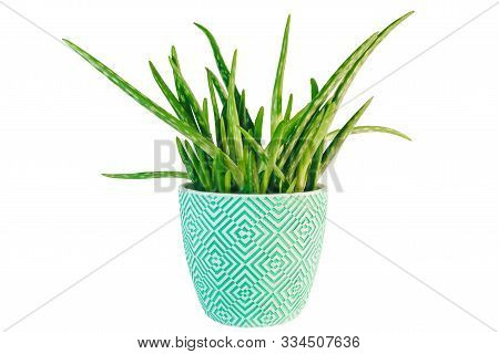 Potted Fresh Green Aloe Vera Plant Isolated On White Background