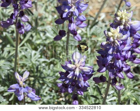 Yellow-faced Bumble Bee, Collecting Pollen From A Field Of Purple Lupines, Mount Pinos, Ventura Coun