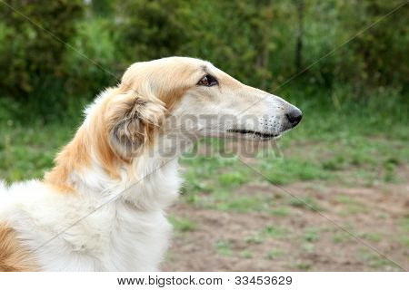 Russian borzoi greyhound dog portrait. Outdoor shoot poster
