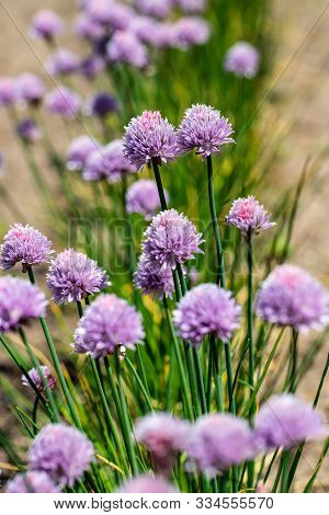 Clump Of Flowering Chives Allium Schoenoprasum In The Summer Vegetable Garden. Photography Of Lively