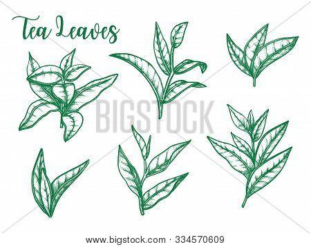 Tea Leaf Vector Sketch, Botanical Herb Illustration For Tea And Teabags Package Design Elements. Gre