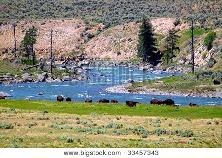 Bison In Lamar River Valley