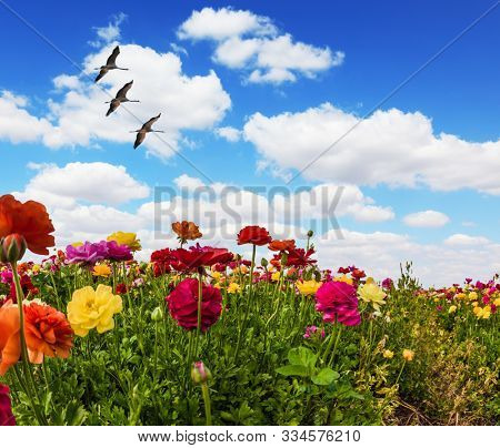 Greeting postcard. Multi-colored buttercups sway from the spring wind. Spring holiday greeting postcard. Blooming kibbutz field under a blue spring sky. The concept of artistic photography