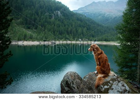 Traveling With A Dog. Nova Scotia Duck Tolling Retriever Stands On A Rock On A Lake In The Backgroun