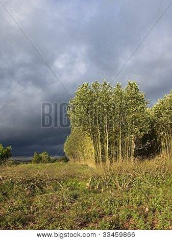 Storm Clouds Over Poplars