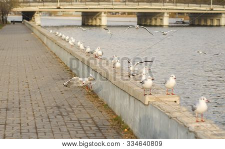 A Group Of Lake Seagulls On The Pea Canal Parapet In The Fall Morning. Outside. Horizontal Format. C