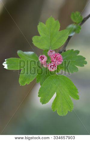 Midland Hawthorn Rosea Flore Pleno Pink Flowers - Latin Name - Crataegus Laevigata Rosea Flore Pleno