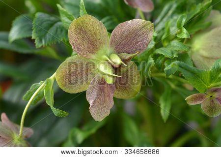 Lenten Rose Viv Victoria - Latin Name - Helleborus Orientalis Viv Victoria