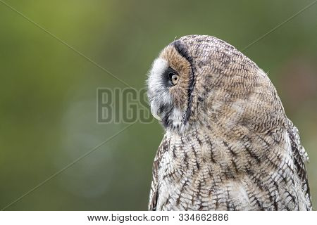 Side View Profile Portrait Of A Hybrid Owl. It Is A Cross Between A Great Grey Gray Owl And A Brown