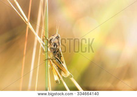 Nature Macro Background Of Grasshopper. Small Grasshopper Insect In Nature. Nature Insect Grasshoppe