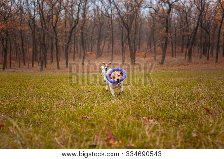 Two Dogs Of The Jack Russell Terrier Breed Run Around The Field In The Park In Autumn And Play With