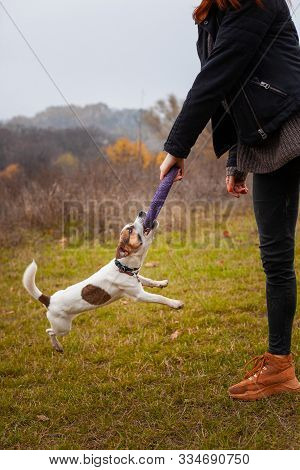 Dog Breed Jack Russell Terrier Is Played With A Man Puller In The Park In Autumn