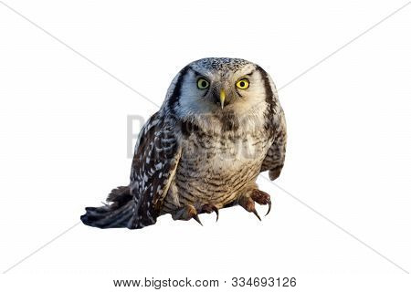 Owl Black And White Gray With Beautiful Yellow Eyes And Curved Beak On A White Background