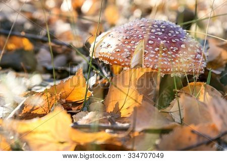 Autumn Nature, Mushroom Season. Forest Dangerous Poisonous Inedible Hallucinogenic Lamellar Spotted