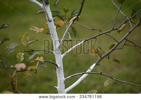 Garden Whitewash On  The Young Fruit Trees