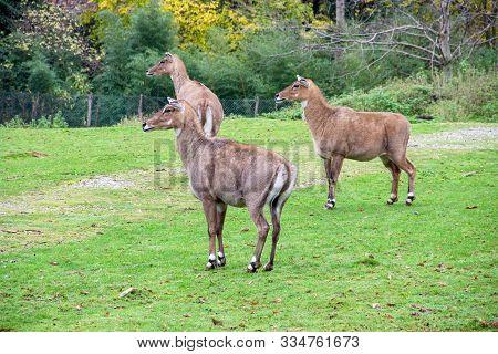 Three Nilgau Antelopes Or Nile-eared Antelope (boselaphus Tragocamelus), Commonly Referred To As Nil