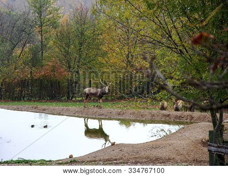 A Pere David's Deer Or Milu, Elaphurus Davidianus, Is A Mammal Of The Deer Family