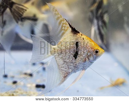 Angelfish In Tank Fish (pterophyllum Scalare) In Northern Italy