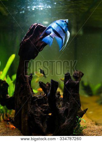 Blue Angelfish Swimming In A Comunitary Tropical Aquarium