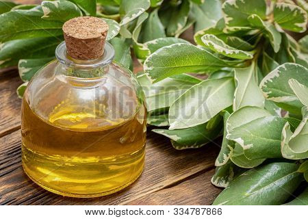 Essential Oil Bottle And Barberry Thunberg Kornik Branch With With Leaves Close Up.