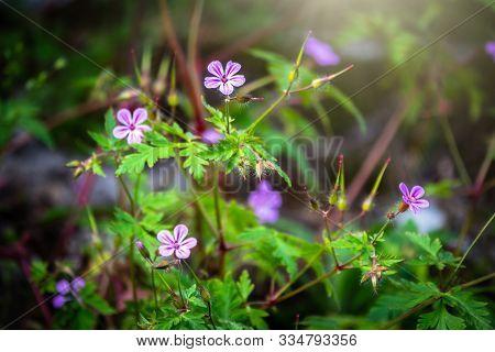 Beautiful Purple Wild Forest Flower. Geranium Robertianum, Or Herb-robert, Red Robin, Storksbill, St