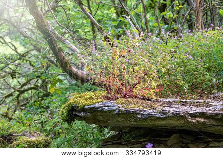 Purple Wild Flowers Grow On A Stone Cliff Among A Green Forest. Beautiful Purple Wild Forest Flower.