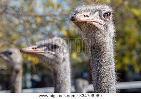 Ostriches Close Up View. Ostrich Farm. Three Birds.
