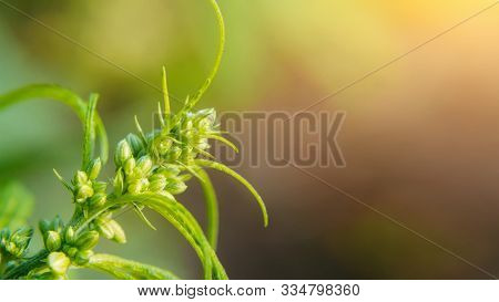 Beautiful Background Of Green Cannabis Flowers Place For Copy Space. Concept Breeding Of Marijuana,
