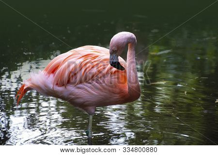 American Flamingo. The American Flamingo (phoenicopterus Ruber) Is A Large Species Of Flamingo Also