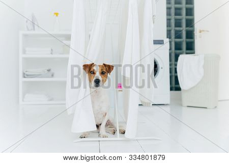 Jack Russell Terrier Dog Poses Between White Towels Hanging On Clothes Dryer In Washing Room. Washer