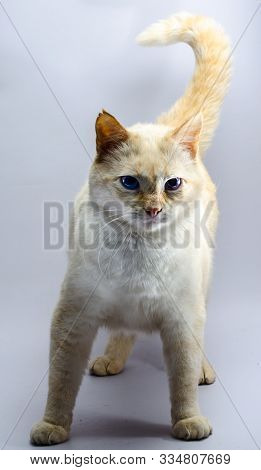 Menacing Standing Red Cat With Blue Eyes
