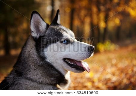 Portrait Of A Siberian Husky Dog Outdoors.copy Space.wallpaper.