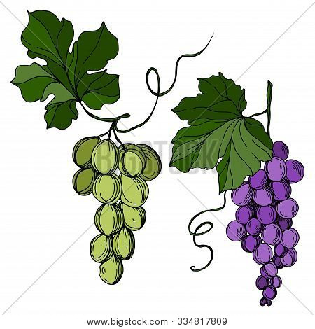 Vector Grape Berry Healthy Food. Black And White Engraved Ink Art. Isolated Grapes Illustration Elem