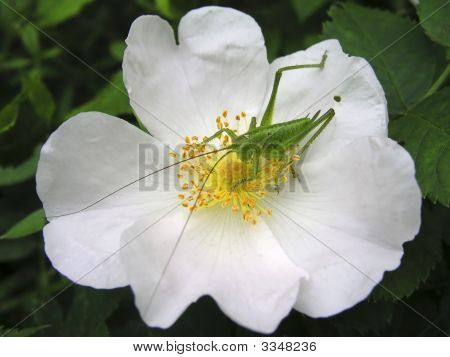 Grasshopper On The Dog-Rose Flower