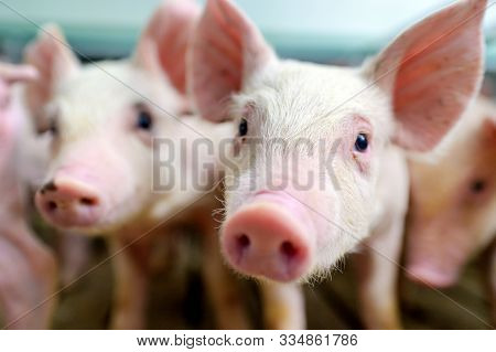 Pig Farm Industry Farming Hog Barn Pork