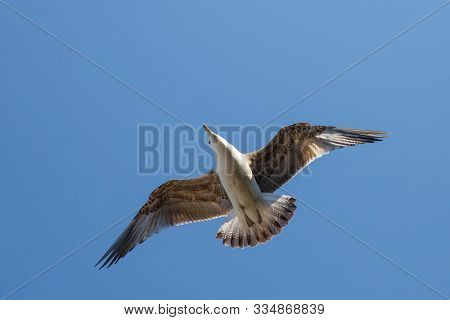 Seagull flying in the blue sky ower the Bosphorus in stanbul. Seagull flying on the blue sky