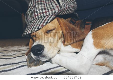 Young Beagle Sleeping On A Carpet, With A Fun And Classic British Hat