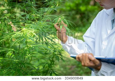 Female Scientist In A Hemp Field Checking Plants And Flowers, Alternative Herbal Medicine Concept, M