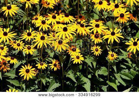 Densely Planted Black-eyed Susan Or Rudbeckia Hirta Or Brown-eyed Susan Or Brown Betty Or Gloriosa D