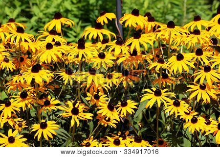 Layers Of Densely Planted Black-eyed Susan Or Rudbeckia Hirta Or Brown-eyed Susan Or Brown Betty Or