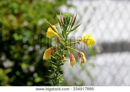 Single Common Evening Primrose Or Oenothera Biennis Or Evening Star Or Sun Drop Or Weedy Evening Pri