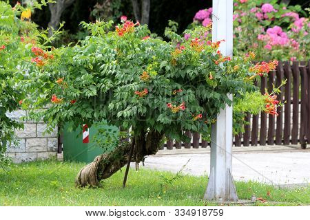 Twisted Decorative Tree Like Old Trumpet Vine Or Campsis Radicans Or Trumpet Creeper Or Cow Itch Vin