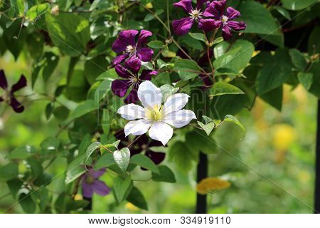 White And Dark Purple Open Blooming Flowers Of Clematis Or Leather Flower Easy Care Perennial Vine P